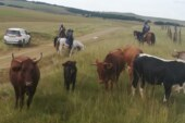 SOUTH AFRICA: Joint Security Team Recover 26 Rustled Livestock In Eastern Cape